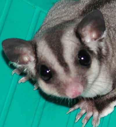SUGAR GLIDERS EAT WAX WORMS & MEALWORMS