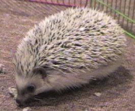 Hedgehogs Will Eat Wax Worms & Mealworms